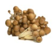 布纳采蘑菇shimeji 免版税库存照片