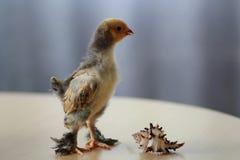 布罗莫鸡 免版税库存照片