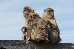 直布罗陀短尾猿 库存图片