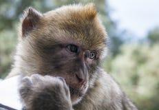 直布罗陀聪明的猴子 库存图片