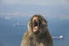 直布罗陀-巴贝里显示他的牙的短尾猿猴子的面孔和 免版税图库摄影