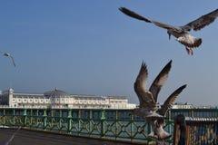 布赖顿码头海鸥 免版税库存照片