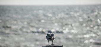 布赖顿,英国-反对海的银色水的一只海鸥 库存图片
