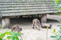 布达佩斯,匈牙利- 2016年7月26日:一个小组在布达佩斯动物园和植物园的西部灰色袋鼠 免版税库存照片