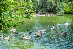 布达佩斯,匈牙利- 2016年7月26日:有鹈鹕和水禽的其他种类的一个池塘在布达佩斯动物园和植物园的 库存图片