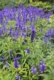 布达佩斯Beautyful lavendel花 免版税库存图片