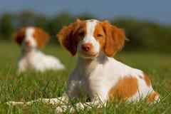 布里坦尼小狗西班牙猎狗 免版税库存照片