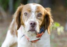 布里坦尼西班牙猎狗与安全橙色跟踪的衣领的猎犬 库存图片