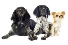 布里坦尼西班牙猎狗和奇瓦瓦狗 图库摄影