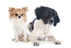 布里坦尼西班牙猎狗和奇瓦瓦狗 库存图片