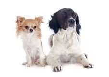 布里坦尼西班牙猎狗和奇瓦瓦狗 库存照片