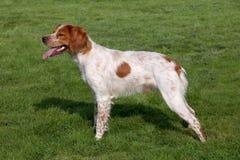 布里坦尼西班牙猎狗在春天庭院 免版税库存照片
