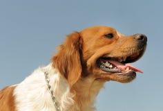 布里坦尼西班牙猎狗本质上 库存图片