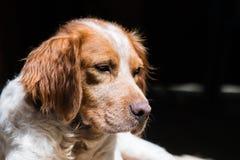 布里坦尼西班牙猎狗狗在庭院里 库存照片