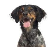 布里坦尼西班牙猎狗的特写镜头 免版税库存照片