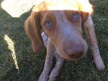 布里坦尼西班牙猎狗6个星期 图库摄影