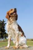 布里坦尼西班牙猎狗 库存照片