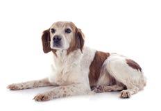 布里坦尼西班牙猎狗 库存图片