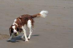 布里坦尼西班牙猎狗 免版税库存照片