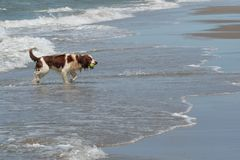 布里坦尼西班牙猎狗 免版税库存图片