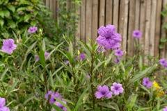 布里顿的野生喇叭花的美丽的紫色颜色瓣知道作为墨西哥会开蓝色钟形花的草,开花在绿色叶子被弄脏的背景 库存图片