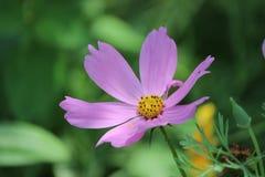 从布鲁克林植物园的紫色雏菊 免版税图库摄影