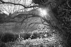 布什和树与由后面照的阳光在黑白 免版税图库摄影