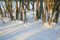 布什和雪在日落在冬天 背景蓝色雪花白色冬天 库存图片