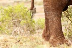 布什大象的尾巴和腿 免版税库存图片