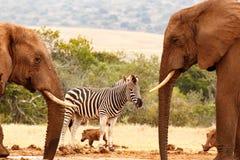 布什大象饮用水,当站立一匹渴的斑马时 免版税库存照片