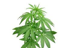 布什大麻 免版税库存照片
