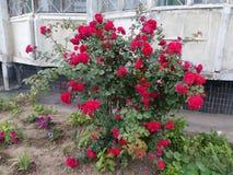 布什开花的野生玫瑰 免版税库存照片