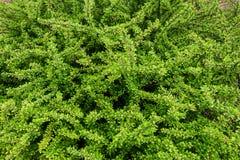 布什忍冬属植物 免版税库存图片