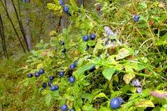 布什成熟甜蓝莓。 免版税库存照片