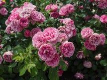 布什桃红色玫瑰特写镜头 库存照片