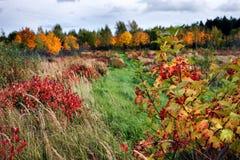 布什用在秋天森林背景的莓果  免版税库存照片