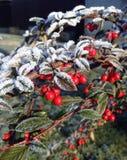 布什红色莓果 库存照片