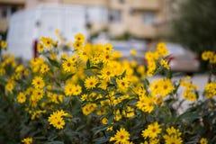 布什黄色雏菊 免版税库存照片