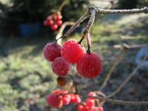 布什荚莲属的植物 免版税库存照片