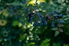 布什蓝莓 免版税库存照片