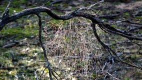 布什蜘蛛网在Mallee背景中 库存图片