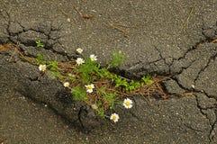 布什雏菊长大沥青 图库摄影