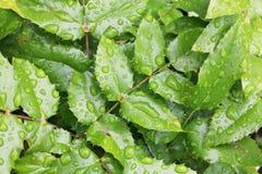 布什霍莉绿色离开与大雨水下落 免版税库存照片