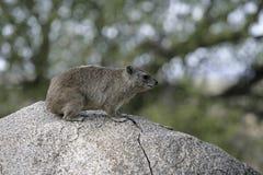 布什非洲蹄兔或黄色被察觉的岩石dassie, Heterohyrax brucei 免版税库存照片