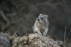 布什非洲蹄兔或黄色被察觉的岩石dassie, Heterohyrax brucei 库存图片