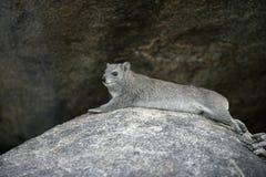布什非洲蹄兔或黄色被察觉的岩石dassie, Heterohyrax brucei 免版税图库摄影