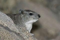 布什非洲蹄兔或黄色被察觉的岩石dassie, Heterohyrax brucei 库存照片