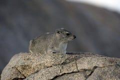 布什非洲蹄兔或黄色被察觉的岩石dassie, Heterohyrax brucei 免版税库存图片