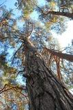 帆柱杉木底视图  免版税库存图片