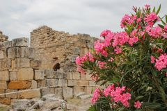 希拉波利斯古希腊的废墟棉花堡代尼兹利,土耳其和桃红色花灌木的  免版税库存照片